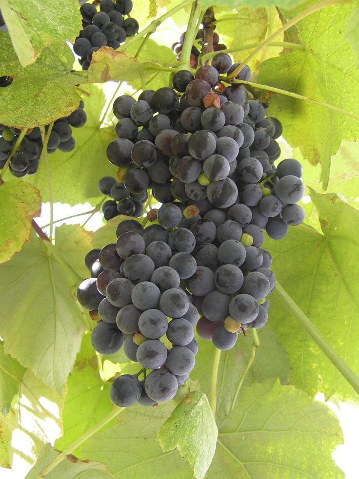 Грузинским виноградарям выплатят задолженность