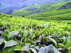 Выставка-продажа грузинского чая пройдет в Тбилиси