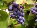 Винные заводы Грузии начали принимать гибридные сорта винограда
